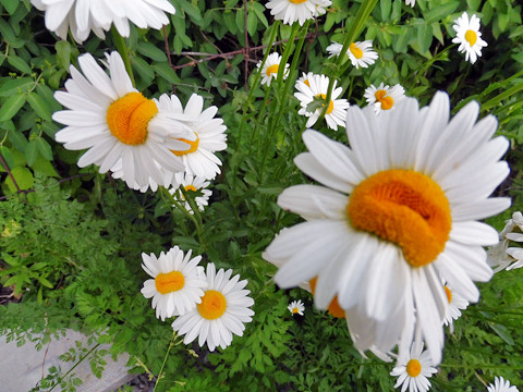 Happy Daisies - growing in polluted land